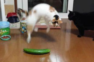Gatos vs pepinos