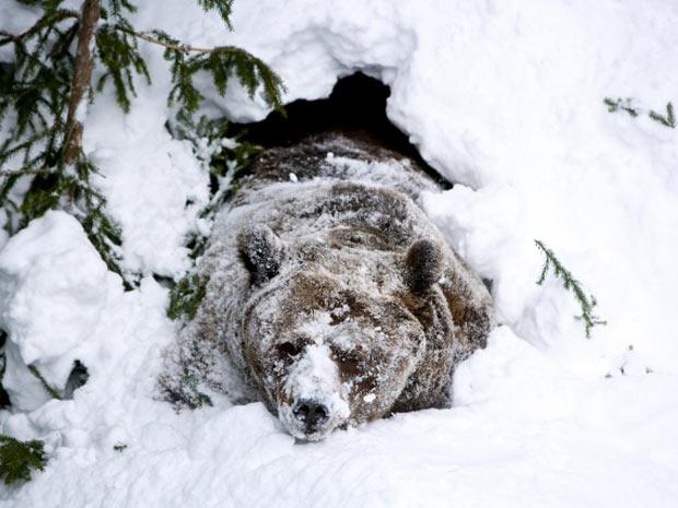 Hibernação do Urso