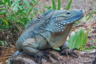 Iguana-Azul