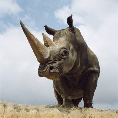 Olfato Rinoceronte