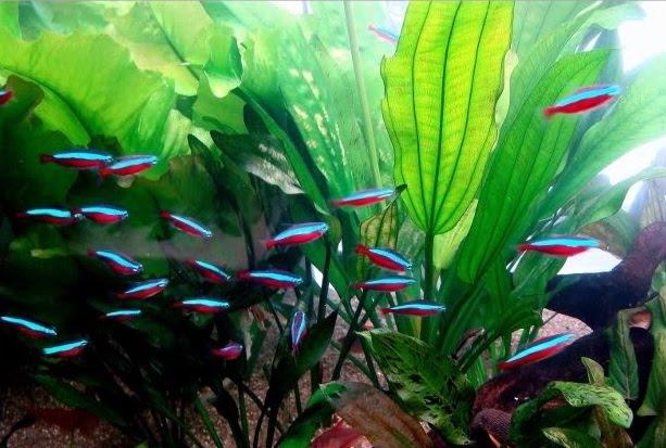 Peixe Neon Cardinal Alimentação
