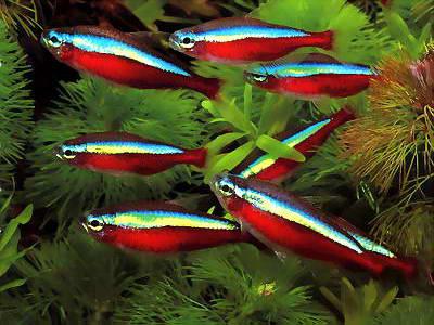 Peixe Neon Cardinal Cardume