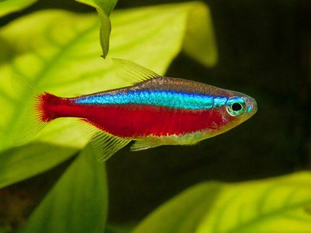 Peixe Neon Cardinal