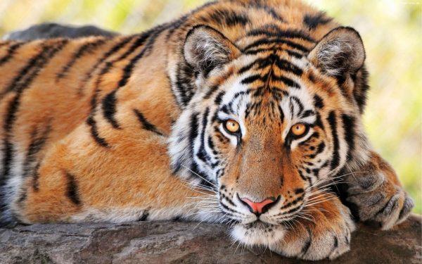 Tigre-do-sul-da-china