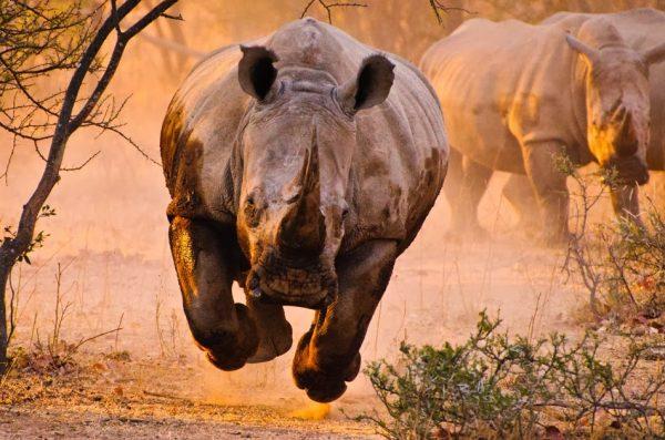 Curiosidades Sobre o Rinoceronte