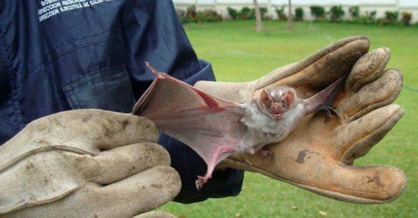 Doenças Transmitidas por Morcegos