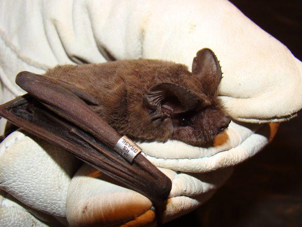 Estudos Sobre Doença do Morcego