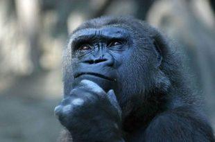 Macaco Engraçado Pensador/Sócrates