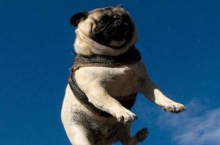 Pug Voando