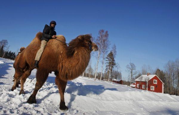 Resistência Climática do Camelo