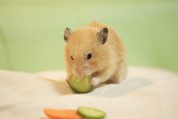 Alimentação do Hamster