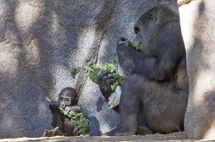 Alimentação dos Gorilas