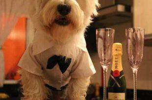 Cachorro Chique Para a Festa