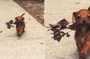 Cachorro Levando Flor Para Namoradinha