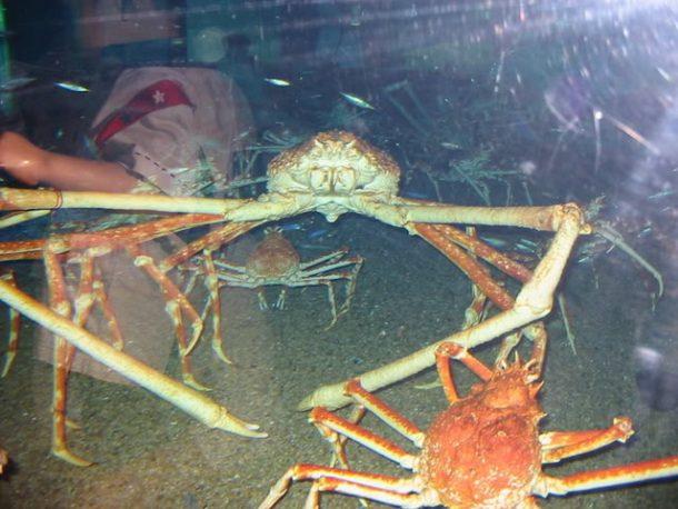 Caranguejo Aranha Gigante Alimentação