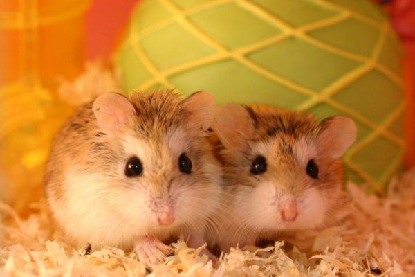 Casal de Hamster