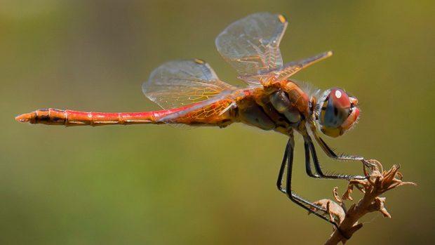 Resultado de imagem para libelula vermelha