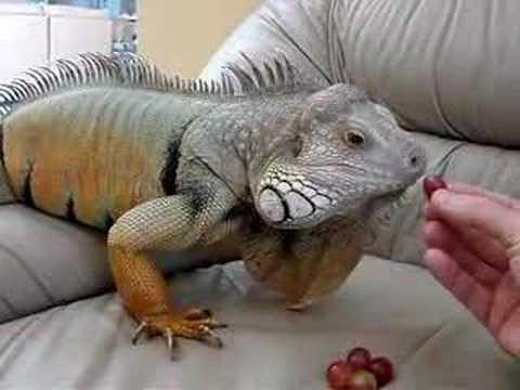 Domesticação da Iguana