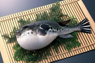 Fugu ou Baiacu