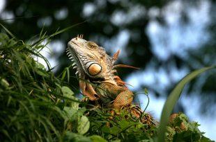 Iguana Habitat