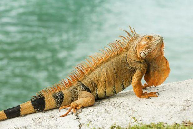 Iguana Características