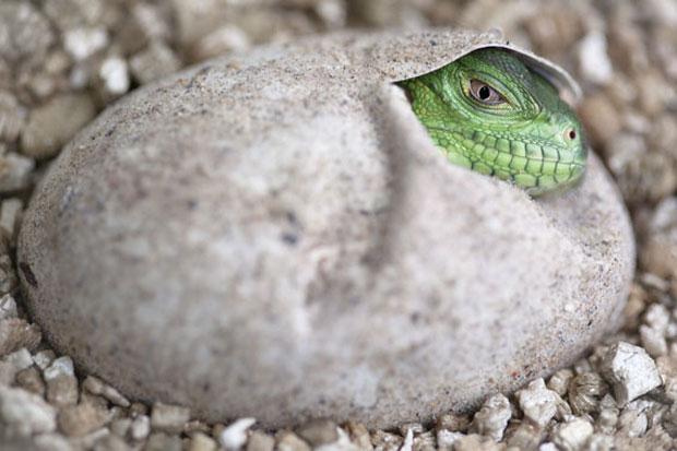 Iguana Reprodução