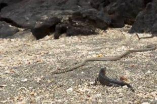 Iguana fugindo das cobras