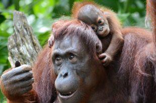 Orangotango de Bornéu e Filhote