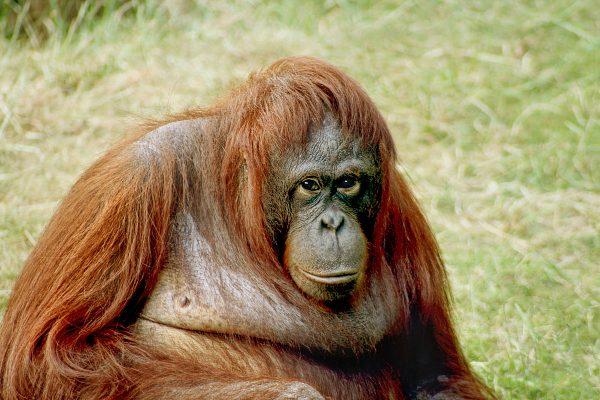 Orangotango de Bornéu na Floresta