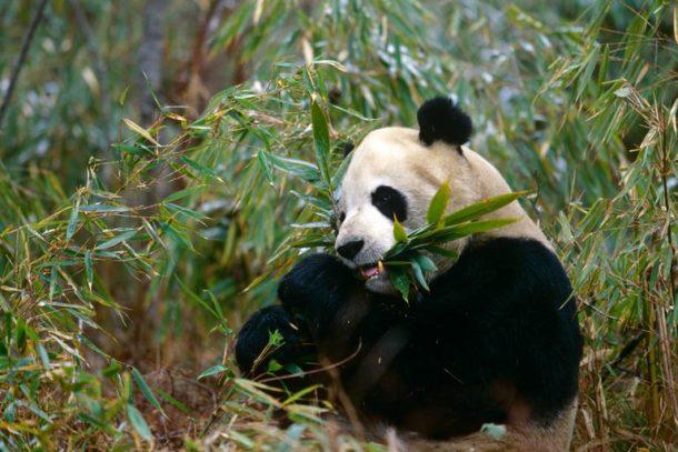 Alimentação Panda Gigante