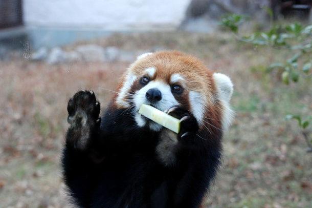Alimentação Panda Vermelho