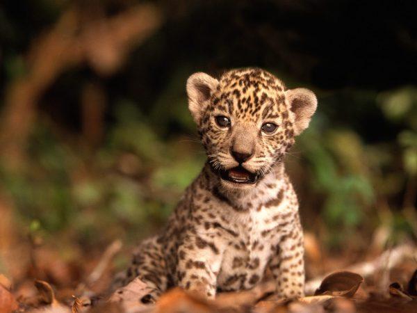 Animal Jaguar Reprodução