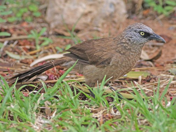 Black-faced Babbler