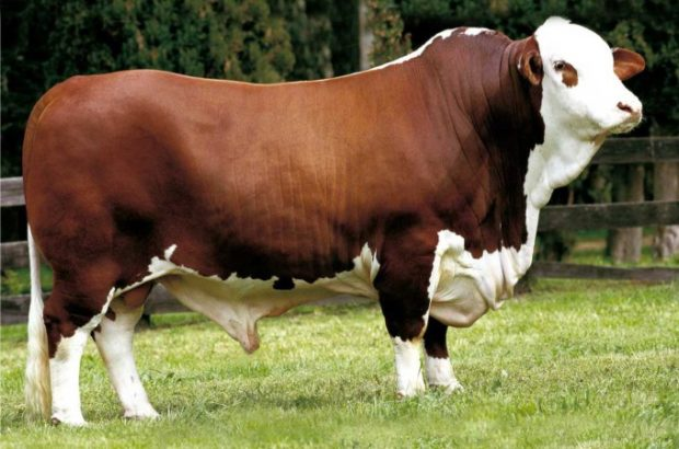 Boi Hereford