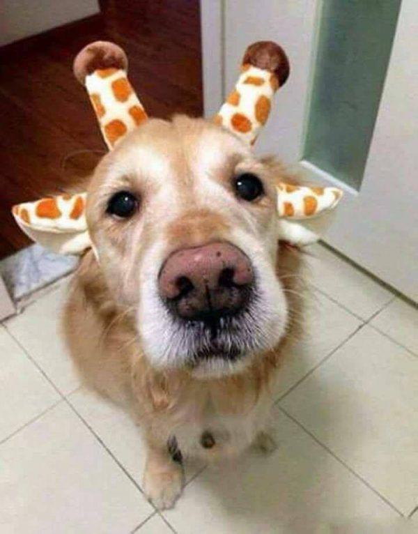 Cachorro ou Girafinha