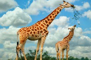Girafa Alimentação
