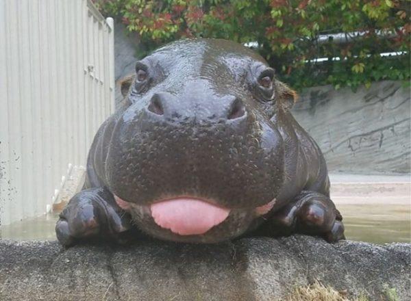 Características do Hipopótamo