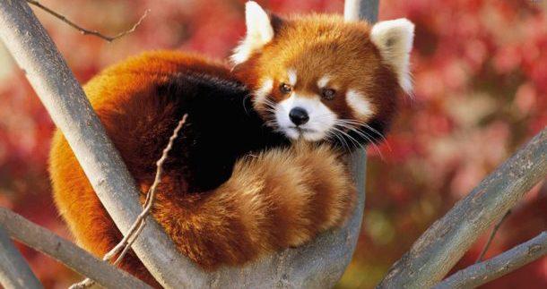 Características do Panda Vermelho