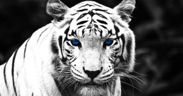 Características do Tigre Branco