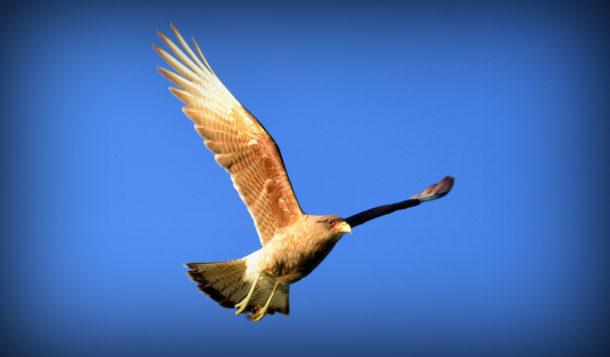 Chimango Voando