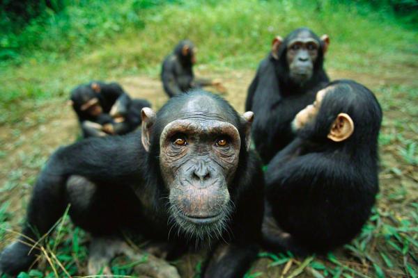 Chimpanzé Habitat