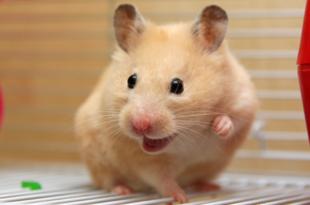 Como Cuidar do Hamster