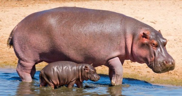 Crescimento do Hipopótamo