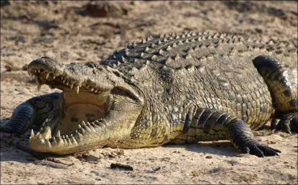 Crocodilo do Nilo Físico