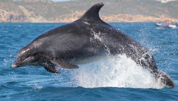 Curiosidades do Golfinho Roaz