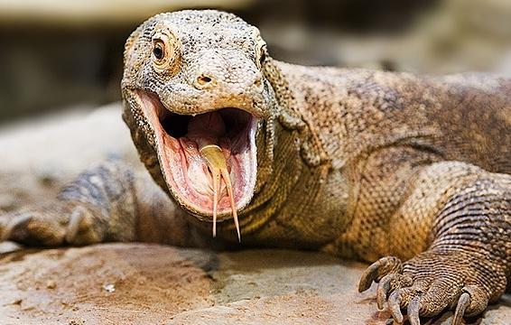 Dragão de Komodo Defesa