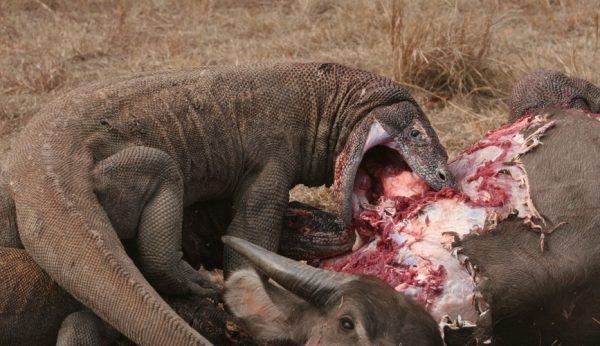 Dragão de Komodo Dieta
