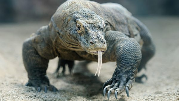 Dragão de Komodo Físico