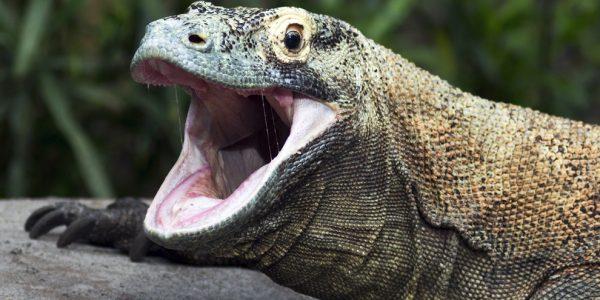 Dragão de Komodo Sentidos