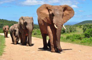 Elefante Africano Características